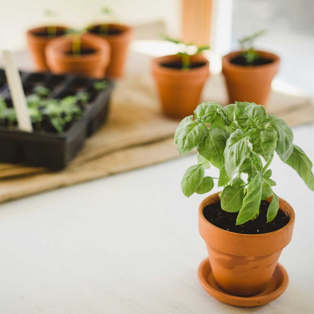 Growing-Basil-Plant